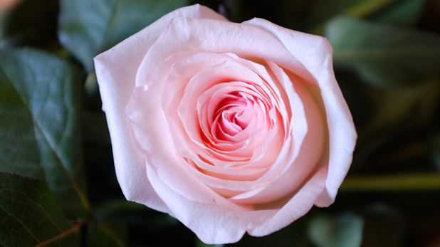 la only lyon une rose parfumee made in allier