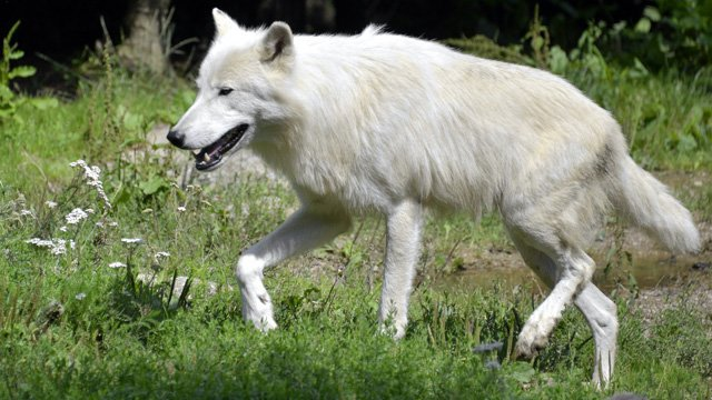 loup_640x360_jpeg-article.jpg