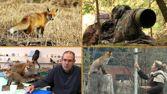 Le renard et nous photo 2 documentaire