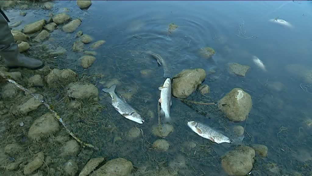 Doubs : poissons morts