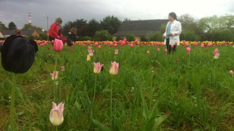 Rennes : des tulipes contre le cancer