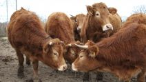 F3 Illu vaches Indre