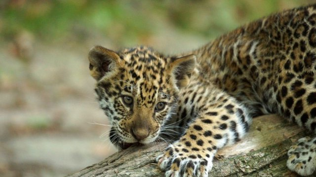 Le petit jaguar du zoo de Beauval / © Zoo Beauval