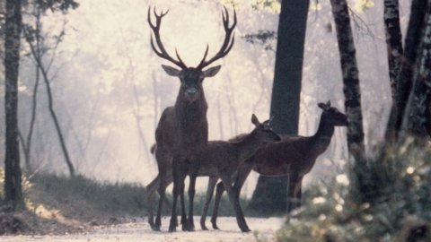 red_deers_on_a_path_in_a_forest_of_haute-normandie.jpg