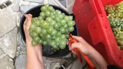 Reims a vendangé la plus vieille vigne de France