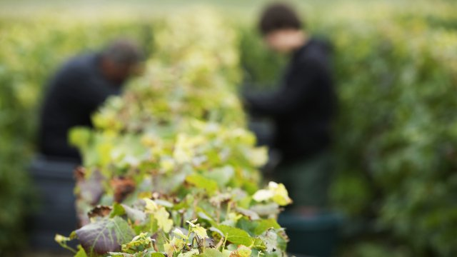 Vendanges 2017 : accord sur un rendement de 10 800 kilos par hectare