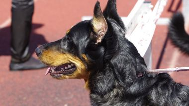 Le chien était un croisé berger allemand et beauceron. Photo d'illustration. / © Local Puppy Breeders / Flickr