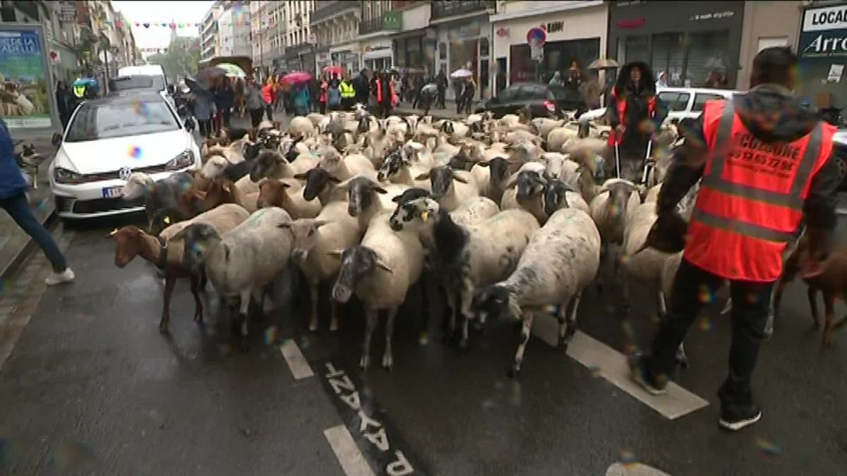 VIDEOS. Lille : 150 moutons et chèvres traversent la Grand-Place pour une transhumance urbaine
