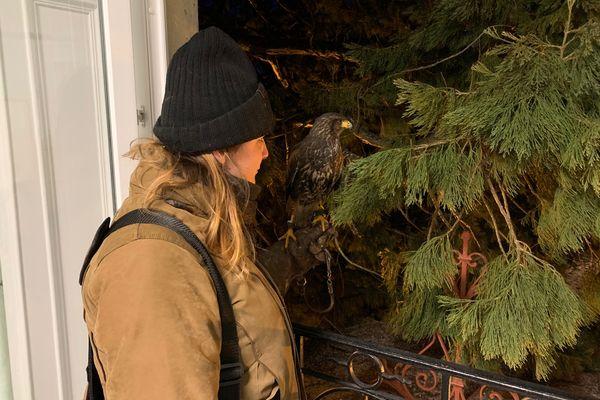 La façonnière s'apprête à lancer son rapace dans un séquoïa géant.