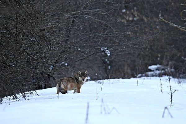 Sur les traces du loup gris....