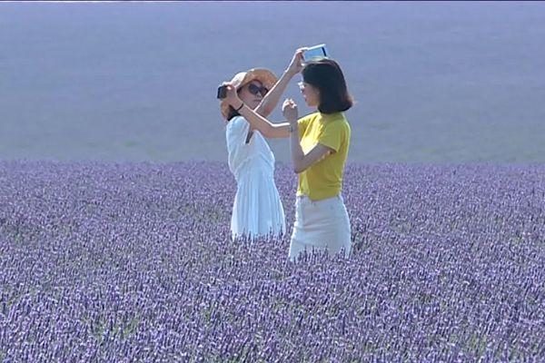 Des touristes immortalisent la beauté des champs en fleurs de lavande, n'hésitant pas à pénétrer sur les propriétés privées des lavandiculteurs.