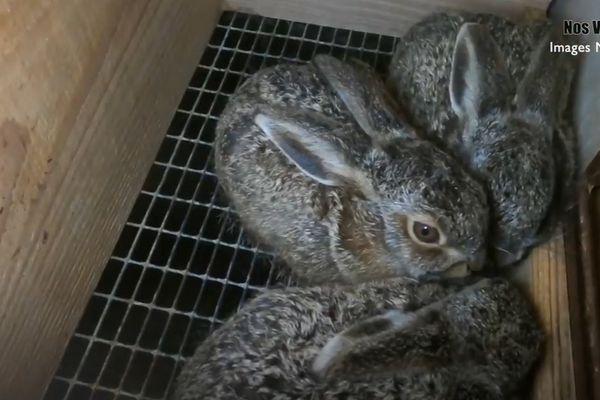 Haute-Garonne - Un élevage est soupçonné par une association de protection des animaux de maltraitance animale.