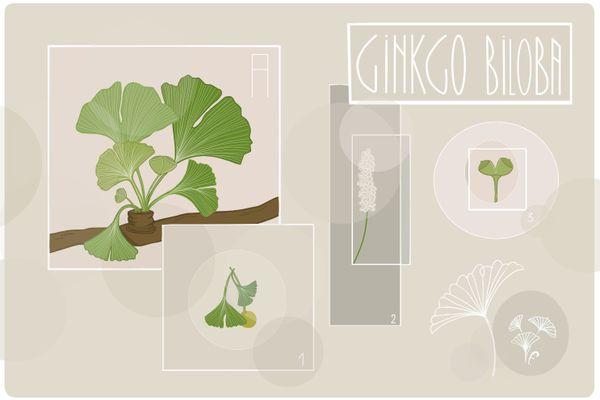 Une des plantes qui évoque le Japon : le Ginkgo biloba