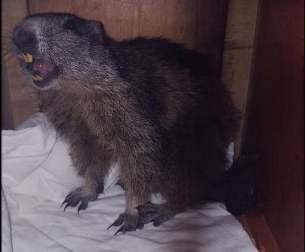 C'est l'association ASA 06 qui s'est occupée de la marmotte.