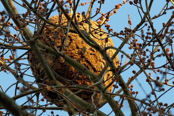 le frelon asiatique fixe souvent son nid en hauteur dans les arbres, ce qui n'est pas le cas du frelon européen.