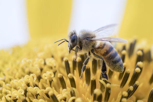 Il est de plus en plus difficile pour les apiculteurs de maintenir leur cheptel en vie.