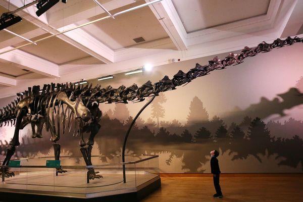 Squelette d'un Diplodocus dans un musée de Belfast
