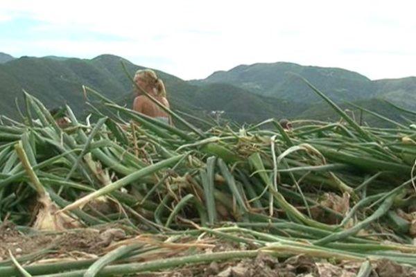 La récolte d'oignons doux est prévue mi-août dans les Cévennes