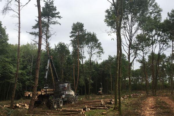 Les pins sylvestres ont été épargnés par le scolyte... et par la tronçonneuse.