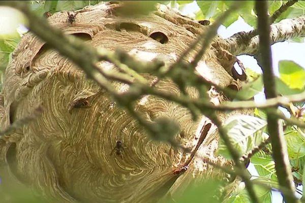 Septembre 2018-Un nid de frelons asiatiques au sommet d'un cerisier près du Havre
