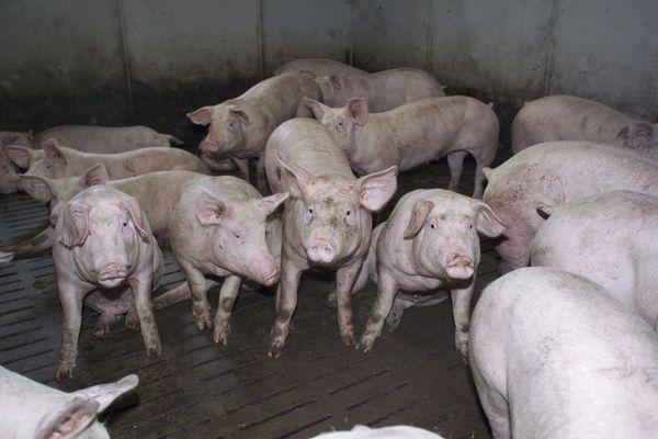Image d'illustration de porcs charcutiers élevés sur caillebotis, en fin d'engraissement sur le point de partir à l'abattage.
