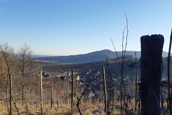 Des vignes sous le soleil d'hiver dans le vignoble haut-rhinois