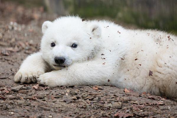 Kara, l'oursonne polaire née le 22 novembre 2020 au parc zoologique de Mulhouse, pèse 15,8 kg.
