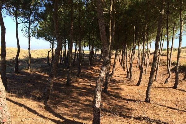 pins maritimes ou Lariscio d'une quinzaine d'années,  remparts végétaux face à l'avancée du sable