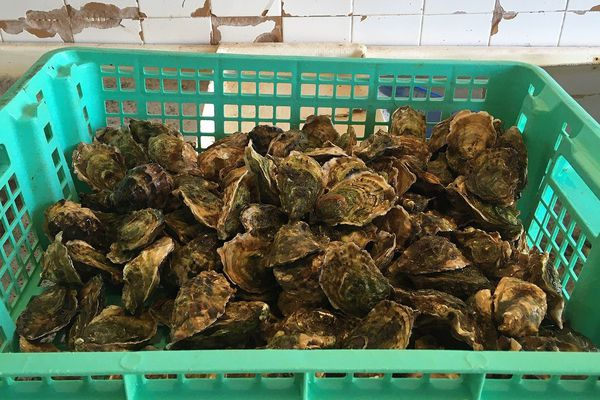 Mèze (Hérault) - les huîtres de la lagune de Thau sont trop nombreuses et trop grosses après le confinement - 22 mai 2020.