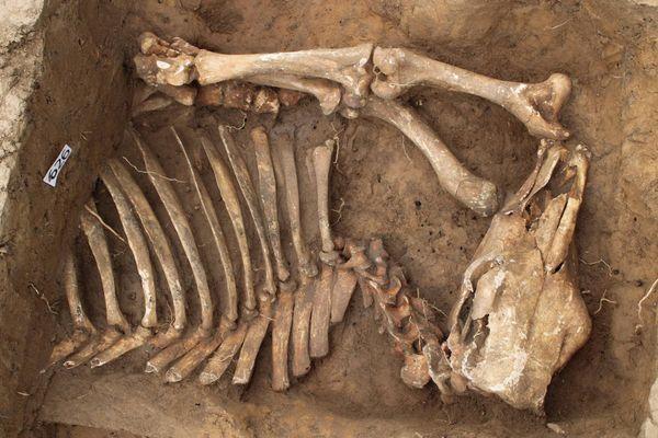 Un squelette cheval découvert dans un fossé laténien.