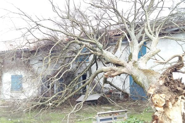 Les rafales ont déraciné des centaines d'arbres comme ce tilleul