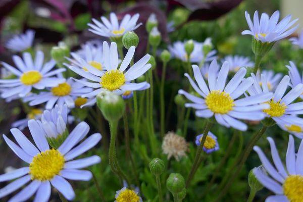 Au jardin, pâquerettes bleues ou Felicia amelloides, Bosdarros, Béarn, Pyrénées Atlantiques, Aquitaine, France.