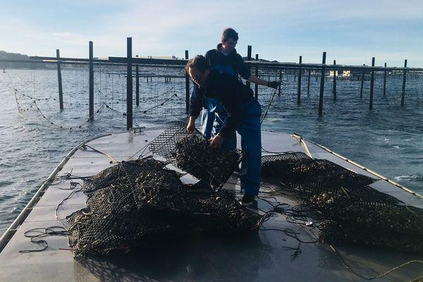 En cette période on ne chôme pas sur les parcs à huîtres de la Seyne-sur-Mer.