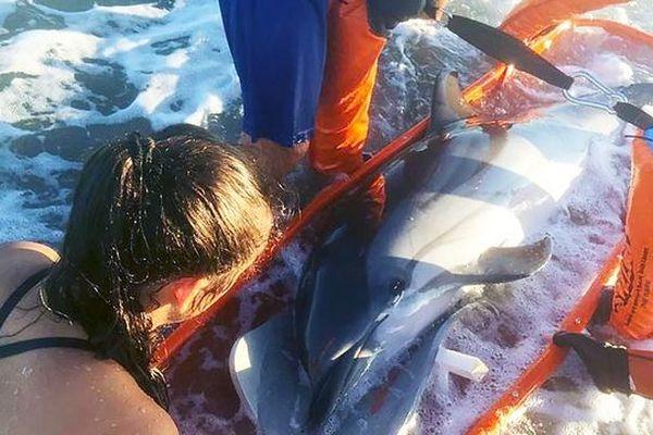 Un dauphin s'est échoué sur la plage de l'Espiguette au Grau-du-Roi. Les pompiers du Gard l'ont aidé à retrouver la mer.