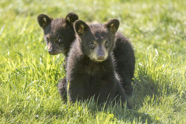 Avec plusieurs centaines de naissances d'espèces emblématiques : oursonnes, coyotins, louveteaux, chatons de lynx, faons d'Elan, chiens de prairie, ratonneaux..., 2020 a été une année exceptionnelle au Parc Animalier de Sainte-Croix.