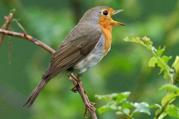En confinement, participez au comptage des oiseaux avec la LPO.