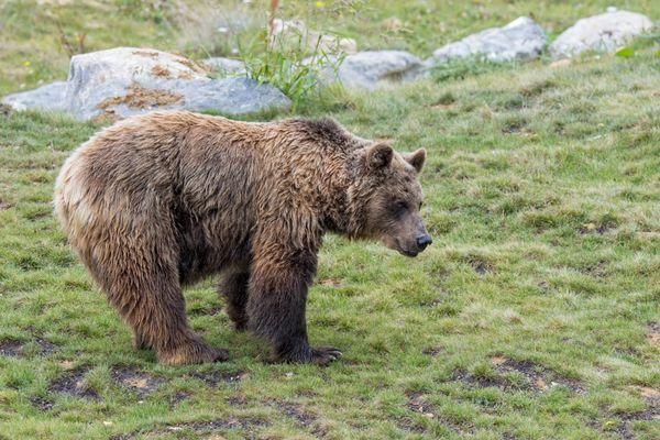 Un projet de sauvegarde de l'ours brun des Pyrénées pourrait bientôt être lancé.