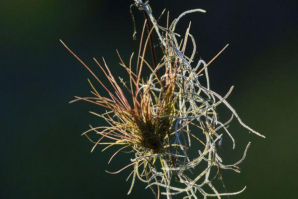 Ces plantes se nourrissent de poussière, de gaz et des minuscules particules de metal.