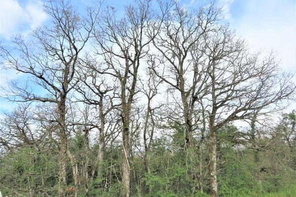 Des hectares entiers de chênaies-charmaies-hêtraies ont été dévorés par les chenilles de Bombyx disparate.
