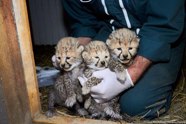 Les bébés guépards nés fin mai