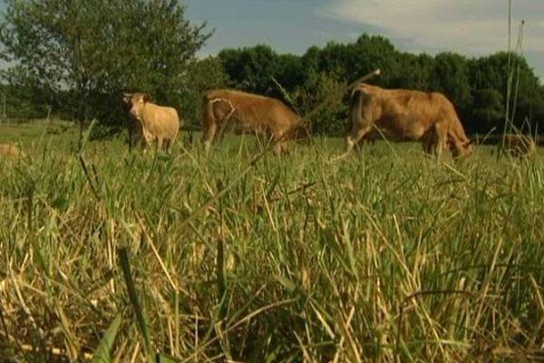 Un cas de tuberculose bovine suspecté en Corrèze