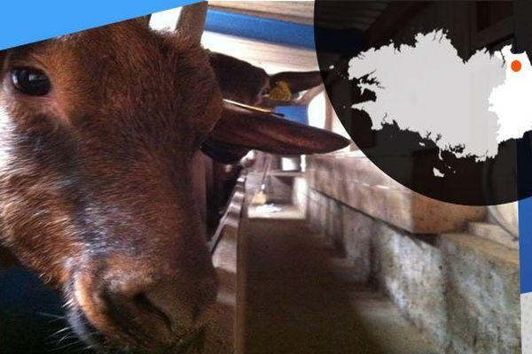 A Plérguer, Claude et Roselyne élève leurs chèvres et fabriquent leur propre fromage