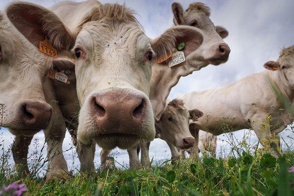- Photo d'illustration - Des vaches charolaises dans leur champ