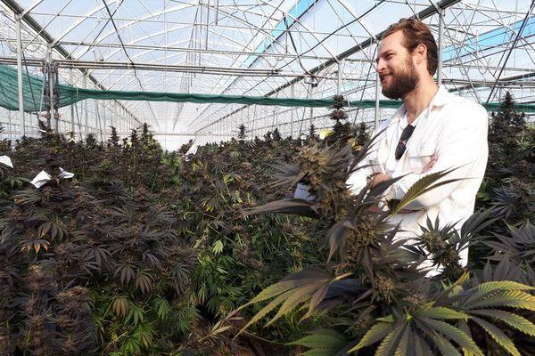 Culture du cannabis légale dans une serre de l'entreprise KannaSwiss à Koelliken au sud de Bâle.