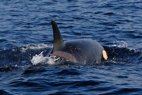 La femelle orque photographiée par Lilian Haristoy jeudi 17 septembre.