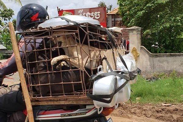 Des chiens ficelés sur une moto, pour être vendus à abattoir au Cambodge où le commerce de la viande de chien est répandu.