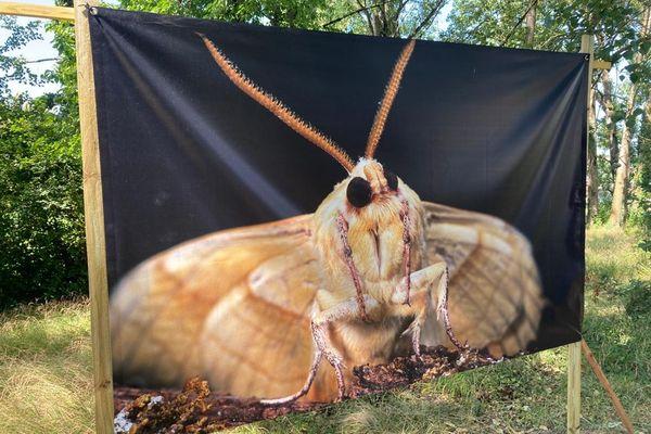Le magnifique papillon Sphinx retrouve de la grandeur sur l'île Beaucaire