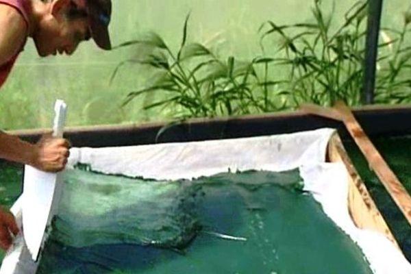 A Alès comme ailleurs, la spiruline développée en bassin est ensuite récoltée et séchée.