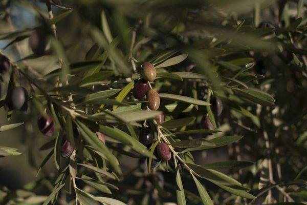En Corse, la Xylella est présente depuis longtemps, mais semble se limiter à certaines plantes.