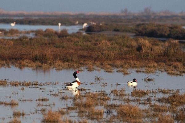 Des Tadornes de Belon ont été photographiés dans les marais de Camargue. On peut apercevoir également des sansouires en arrière-plan.